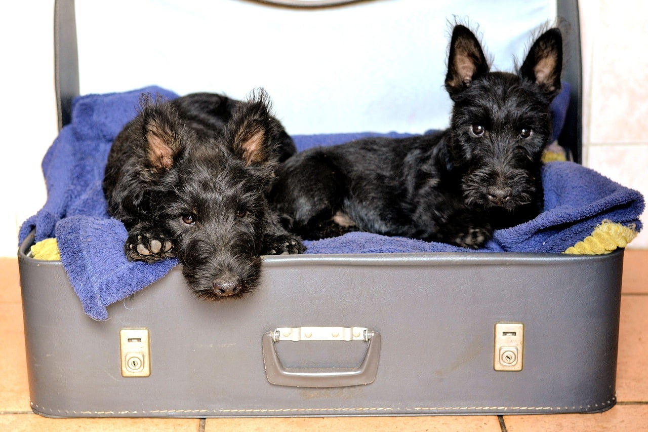 scottish terriers, suitcase bed, black